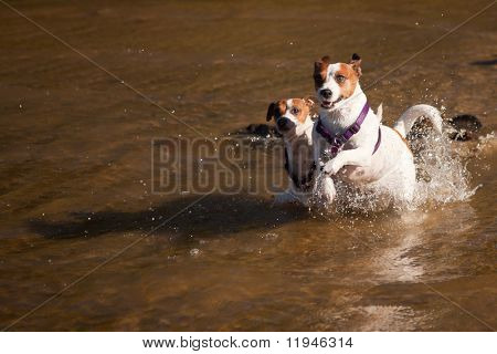 Two Playful Jack Russell Terrier Dogs Playing in the Water. poster