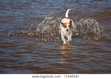 Playful Jack Russell Terrier Dog Playing in the Water. poster