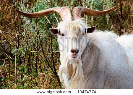 He-goat with big horns.