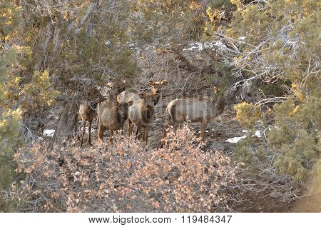 Elk calves peering through the cedars