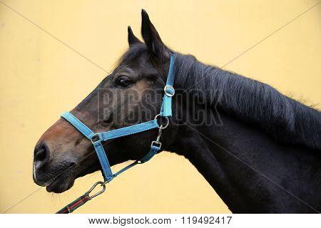 Head Of A Saddle Horse