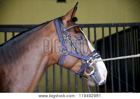 Side View Head Shot Of A Show Jumper Racehorse Before Competition