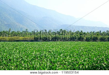 Large Field With Taro Plants