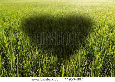 Heart Shaped Shadow In A Rice Field