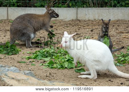 Grazzing Red-necked Wallaby