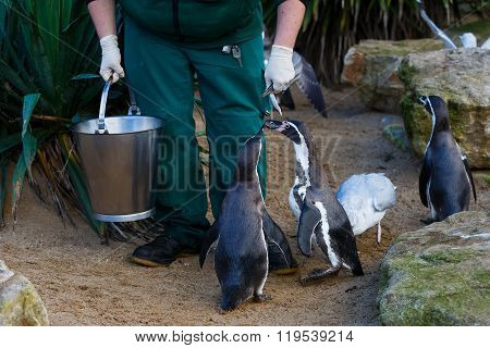 Zookeeper Feeding The Penguins