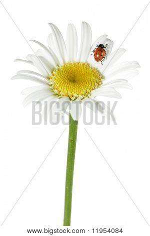Ladybug on daisy poster
