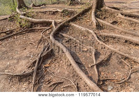 Ancient Long Root
