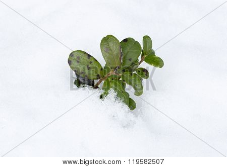 Lingonberry Plant In Winter