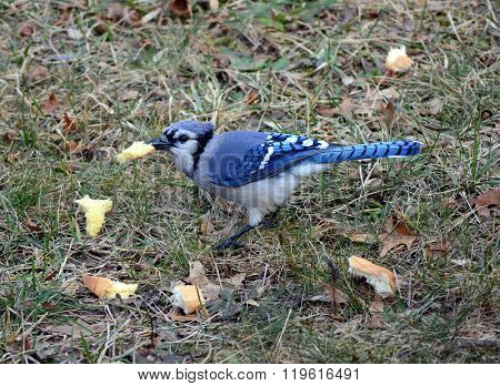 A Blue Jay Bird