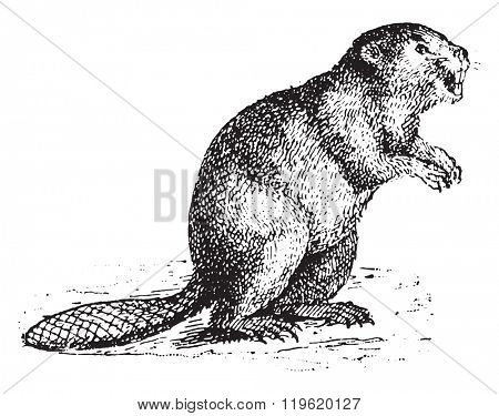 Beaver, vintage engraved illustration. Dictionary of words and things - Larive and Fleury - 1895.