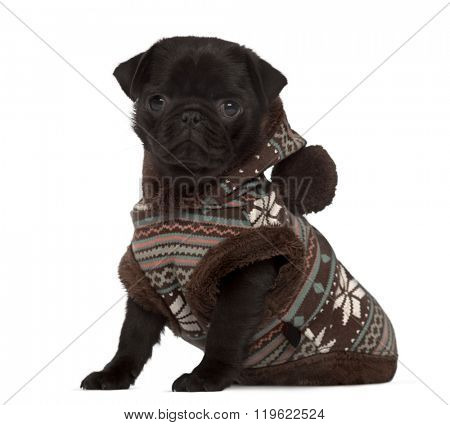 Carlin puppy dressed, sitting and looking at the camera, isolated on white