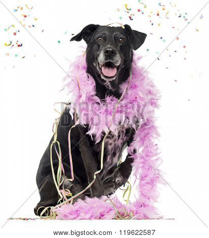 Crossbreed dog partying, isolated on white (8 years old)
