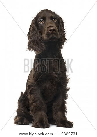 English Cocker Spaniel puppy sitting and looking away, isolated on white (5 months old)