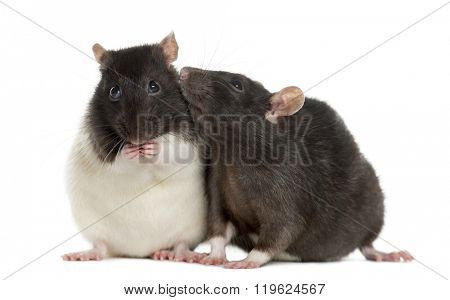 Couple of rats sitting and sniffing, isolated on white
