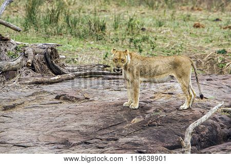 Lioness In Kruger National Park, South Africa