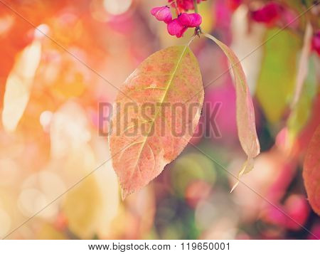 Beautiful Autumn Background Is With The Sprig Of Spindle Tree (euonymus Europaeus)