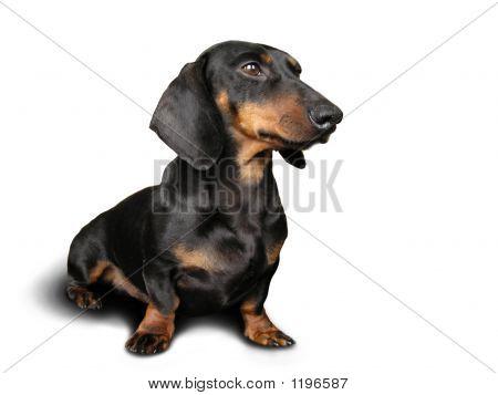 Black And Brown Dog (Dachshund) On