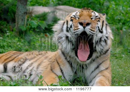Tired Tiger 7