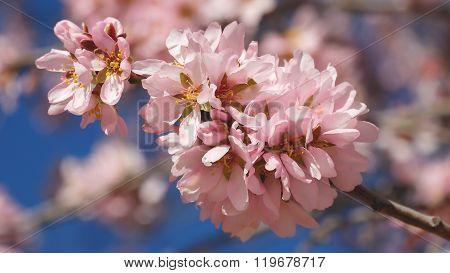 Rama Floreada De árbol Almendro En Primavera