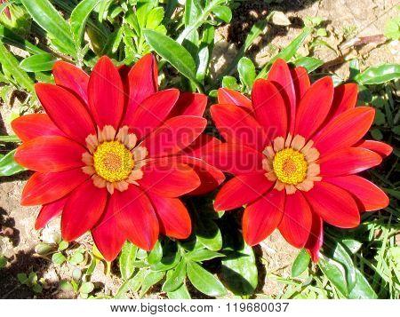 Ramat Gan Park Red Gazania Flowers 2012