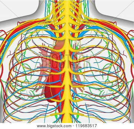 Medically accurate vector illustration of human back chest, includes nervous system, veins, arteries