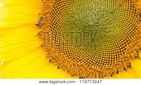 Beautiful Sunflower Pollen Up Close