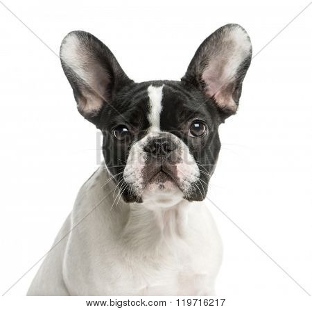 Close-up of a French Bulldog in front of a white background