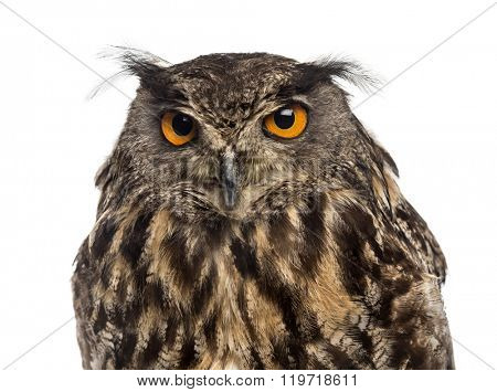 Close-up of an Eurasian eagle-owl (Bubo bubo) in front of a white background