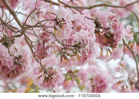 Pink Pantip blossom flowers on the tree.soft focus