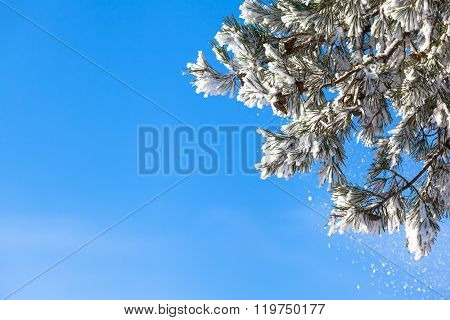 Branches of snowy conifer tree in front of the blue sky as copy space background with some snow that falling down