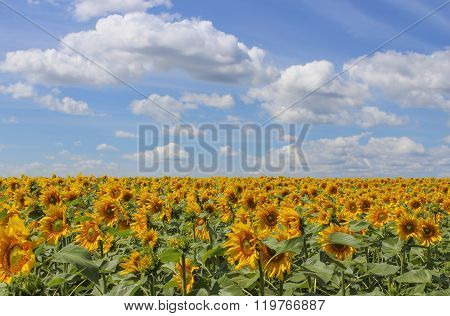 Landscape with a view of the field of blooming sunflowers and sky with clouds