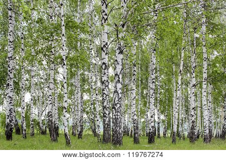 Landscape with views of verdant birch grove in the spring
