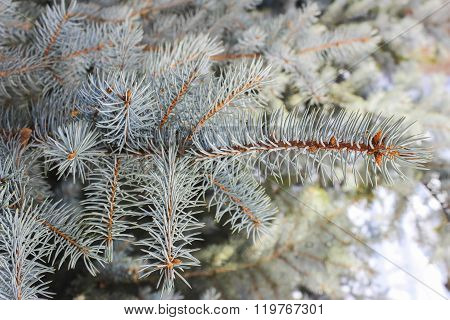 Branches of blue spruce close-up as background