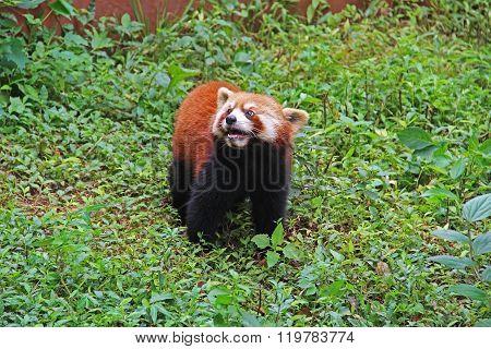Firefox, The Red Panda In Chengdu, China