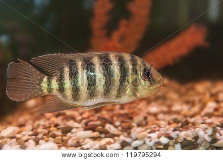 Striped fish aquarium cichlids Lakes region of Africa Group