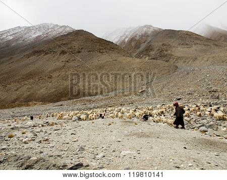 Ladakhi Herdsman And Goats