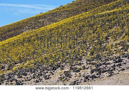 Desert Gold #7