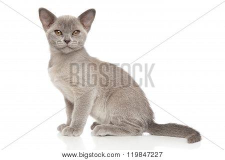 Burmese Kitten In Front Of White Background