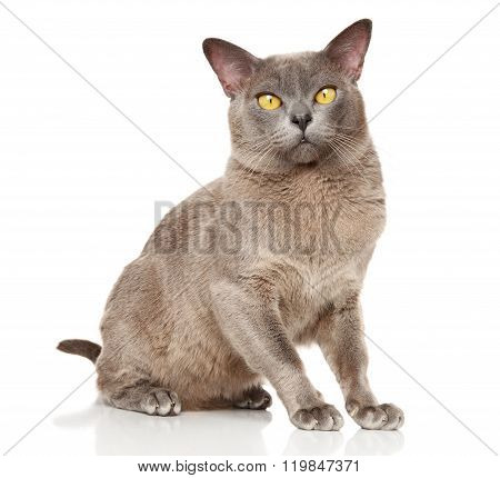 Burmese Cat Sitting In Basket On A White Background
