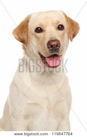 Close-up Of A Labrador