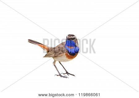 male Bluethroat on branch isolated
