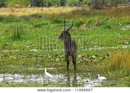 Male Waterbuck