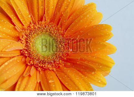 Orange Gerbera Flowers Macro
