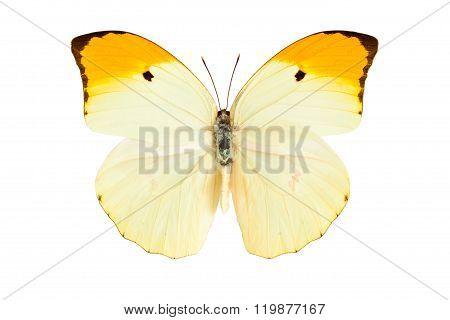 Butterfly (anteos Menippe).