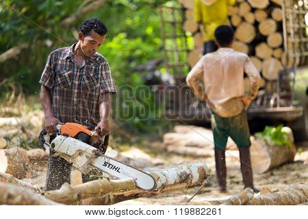 Lumberjack cutting rubber tree with chainsaw for industrial exploitation in south Thailand.