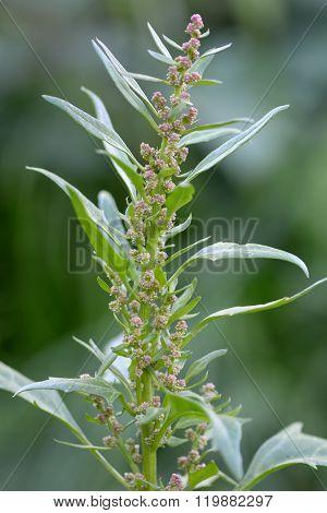 Red goosefoot (Chenopodium rubrum)