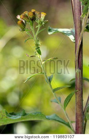 Ploughman's spikenard (Inula conyza)