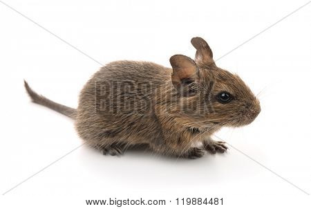 Young degu (Octodon degus) isolated on white
