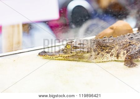 Closeup Baby Alligator In The Mirror Cage